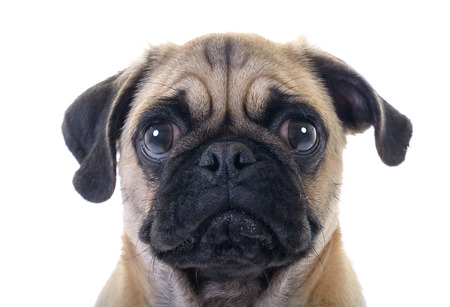 Closeup Face Headshot of Pug Dog Crying with Tear in Right Eye over white background