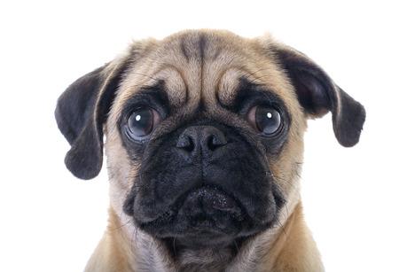 Nahaufnahme Gesicht Headshot Pug Dog Weinen mit Riss im rechten Auge auf weißem Hintergrund Standard-Bild - 36970572
