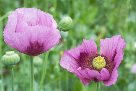 papaver: Close-up of Opium Poppy (Papaver somniferum) flower on the field Stock Photo