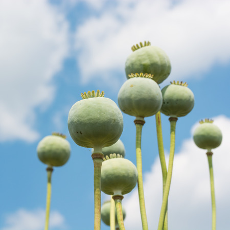 commercial medicine: Opium Poppy (Papaver Somniferum) Capsules Close-up over beautiful cloudy sky, selective focus to front