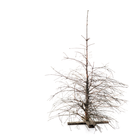Martwa sucha sosna bożonarodzeniowa ze złamanymi gałęziami na białym tle