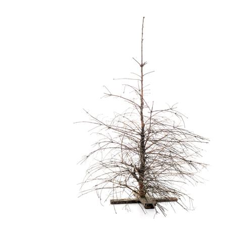 Muerto pino de Navidad en seco con ramas rotas sobre el fondo blanco