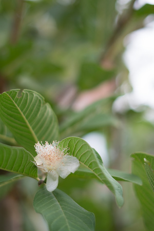 guava fruit: Guava flower Stock Photo