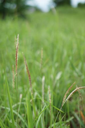 noon: Grass seeds & grass field Stock Photo
