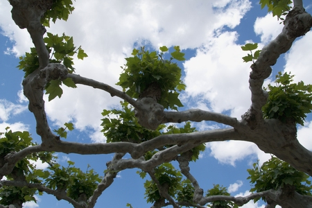 rickety: Branches of a plane tree with bunches od leaves on the background of a blue sky with clouds Stock Photo