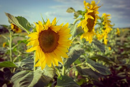 Sunflowers in the crop field in a sunny summer day