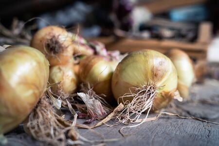 Group of fresh ripe organic red onion harvested in a bunch bundle on the ground in barn on the farm ready for storage and market
