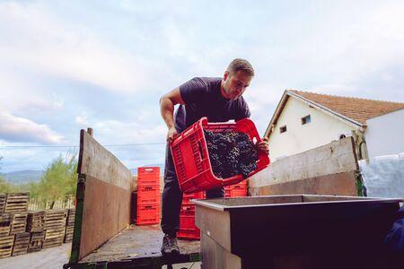 Un jeune agriculteur de la cave décharge le camion ou la remorque du tracteur avec des boîtes en plastique des conteneurs de raisins dans la machine à presser dans le processus de fabrication du vin après la récolte Banque d'images