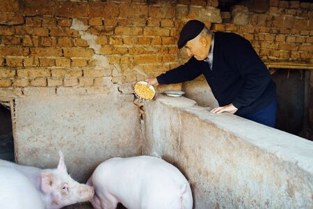 Senior man farmer at the autumn day going to the piggery to feed the animals pig old pensioner feeding pigs with corn seed