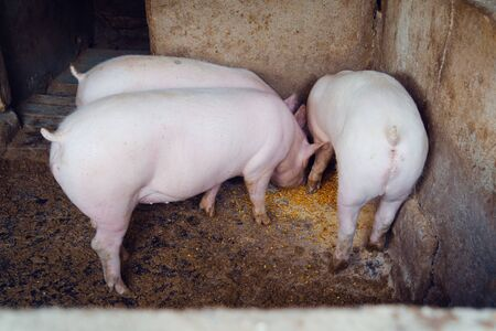 Pig at the pigs farm piggery feeding eating corn seeds eat