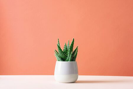Aloe cactus on pastel background succulent plant in pot copy space Minimal summer still life concept Stock Photo