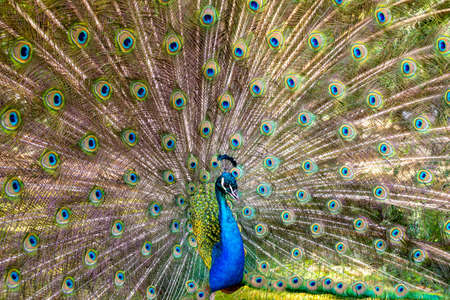 Beautiful photography of peafowl; Bird; Show their beautiful feathers; dancing Stock Photo