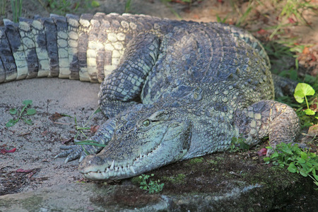 curiously: Toothy crocodile curiously looking at the camera Stock Photo