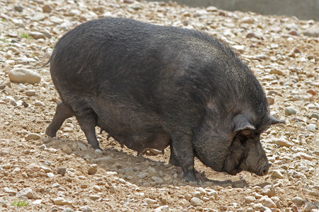 potbellied: Black Pot-bellied pigs herbivorous. Sunny day outdoors.