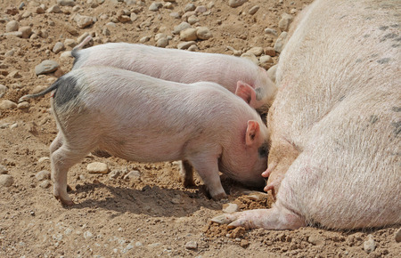sow: Sow lying on its side, milk feeds two little pigs. Close-up.