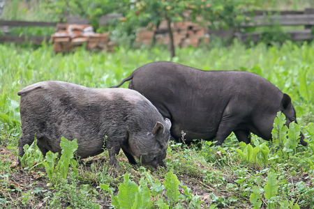 potbellied: Two Pot-bellied pigs herbivores grazing in the meadow