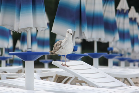 lounger: Young seagull on a lounger on the beach Larus argentatus