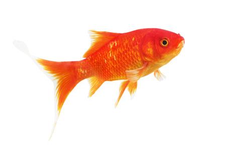 pez dorado: S�mbolo de la riqueza de peces de colores sobre un fondo blanco. Aislado.