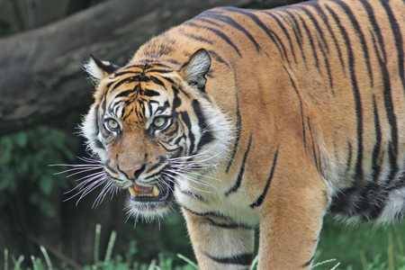 sumatran: Sumatran tiger roars in the Warsaw Zoo. Close-up.