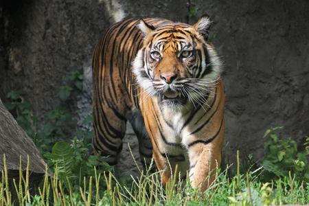 sumatran tiger: Sumatran Tiger in the Warsaw Zoo. Sunny summer day.