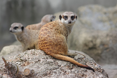 Young curious meerkat looks at the camera. Warsaw Zoo. Stock Photo