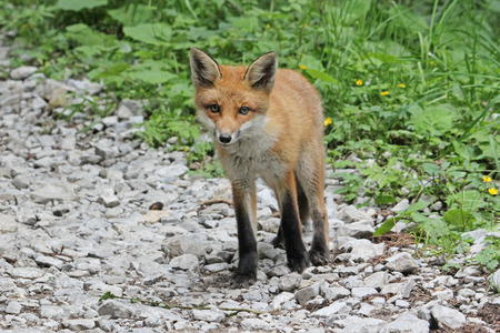 Curious young red fox looking at the camera Stock Photo