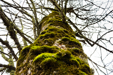 woodsy: Big old tree with moss on the bark
