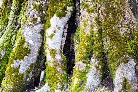 large tree: Big old tree root with green moss in the forest Stock Photo