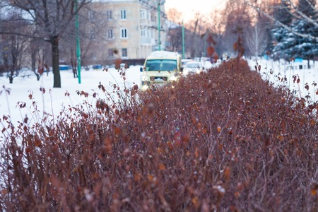 singly: Beautiful red bush leafless in winter on the street in the background going car Stock Photo