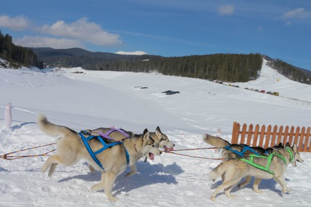 huskys: Dogs in sled driven by a person on the snow