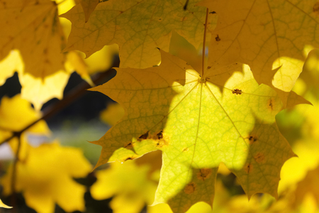 close up view: Large yellow autumn leaves close up view
