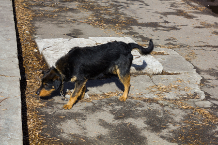 perro asustado: Frightened black dog with a collar and chain on the street Foto de archivo