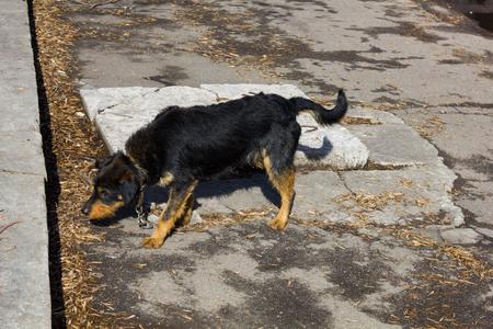 perro asustado: perro negro asustado con un collar y una cadena en la calle