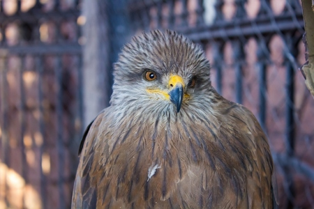 merlin falcon: View of funny kite in a cage close up view Stock Photo