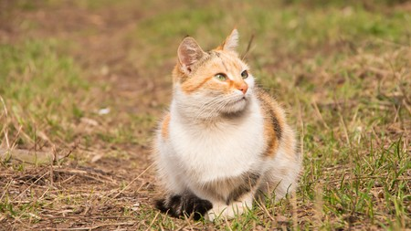 tri  color: Homeless  tricolor cat sitting outside on the grass Stock Photo