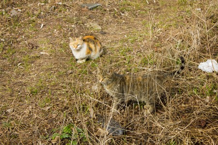 tri  color: Beautiful fluffy tricolor and gray cat on the and grass