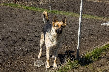 big behind: Big dog breeds German Shepherd dog is behind a fence