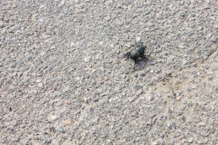 kinky: Black big kinky  beetle on asphalt road