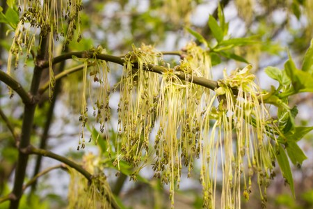 vealy: Green tree with catkins close up view Stock Photo