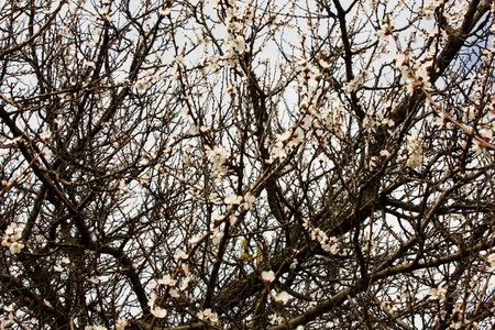 many branches: Many branches without leaves and flowers of apricot as a background and texture Stock Photo