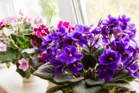 violet residential: Beautiful lush violets flowering purple crimson and pink color on the windowsill in the house