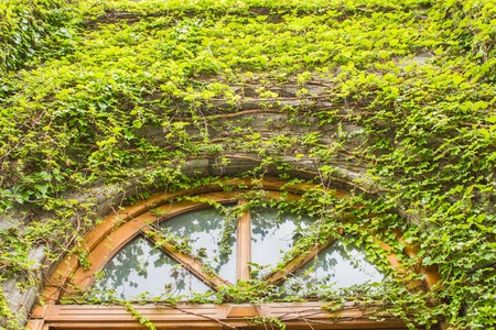 The old Gothic church window covered with dry and green ivy