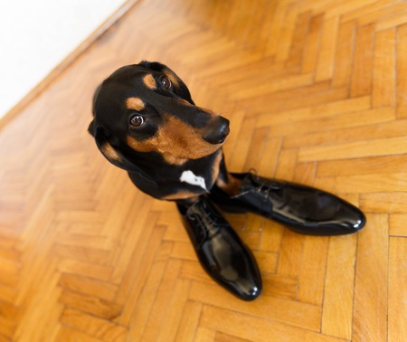 parquetry: Elegant and funny dachshund dog in leather men shoes on parquetry