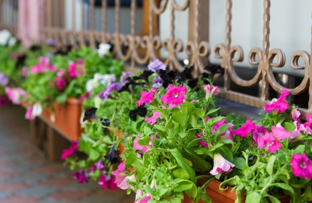 flower pot: Street floristic decor - row of Petunia flowers in pots on the window with decorative metallic grates