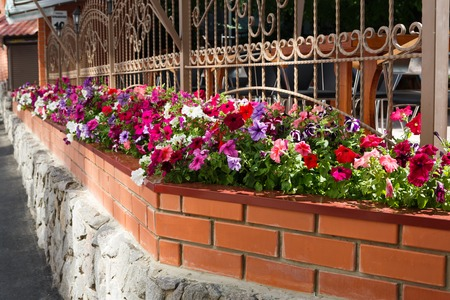 grates: Street floristic decor - row of Petunia flowers in pots on the window with decorative metallic grates