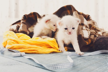 meowing: White newborn kittens in a plaid blanket. Sweet adorable tiny kittens on a serenity blue wood background play with cat toy and ribbon. Small cats. Funny kittens crawling and meowing