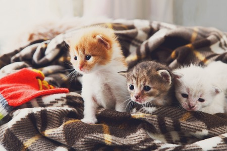 meowing: Kittens and mittens. White, Red and grey newborn kittens in a plaid blanket. Sweet adorable tiny kittens on a serenity blue wood play with cat toy and mittens. Funny kittens crawling and meowing