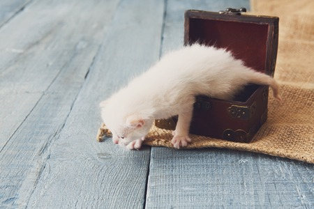 jewel box: Cute white tiny Kitten in wooden jewel box. Small newborn kitten in jewel box at