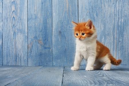 long haired: Ginger kitten with white chest. Long haired red orange kitten. Stock Photo