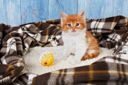 long haired: Ginger kitten with white chest. Long haired red orange kitten sit at brown plaid blanket.